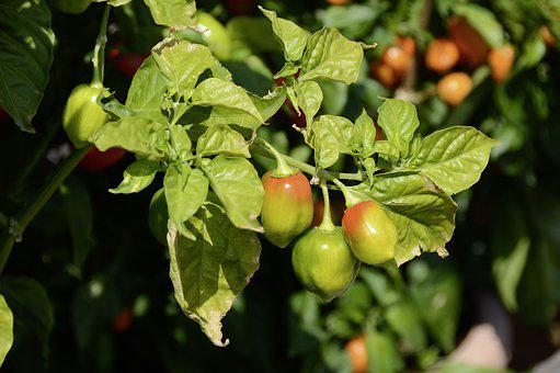 Chili, Jalapenos, Plant, Paprika, Food, Vegetables, Bio