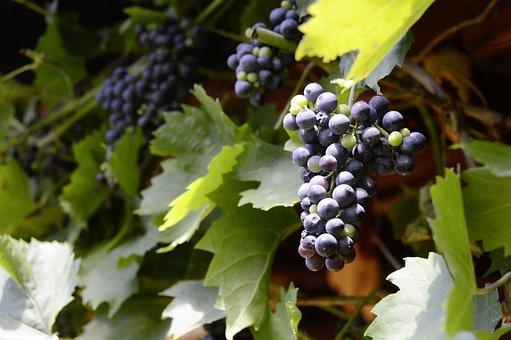 Grapes, Winegrowing, Vine, Ripe Grapes, Vines Stock