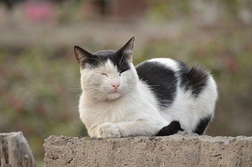 Cat, White, Black, Pet, Feline, Kitten, Animal Home