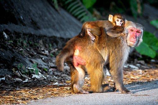 Monkey, Parental, Animal, Baby, Parent, Nature, Ape