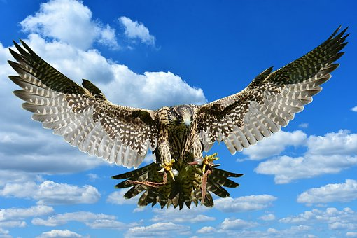 Falcon, Approach, Prey, Access, Raptor, Wild Animal
