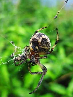 Animal, Arachnids, Banana, Black, Calabash, Closeup