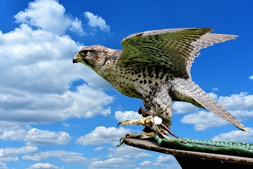 Falcon, Raptor, Wild Animal, Feather, Bird Of Prey