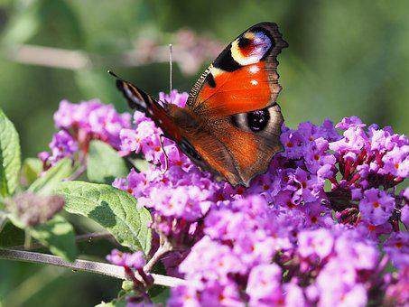 Butterfly, Summer Lilac, Lilac, Purple, Beautiful