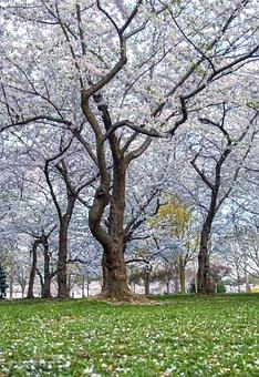 Cherry, Blossoms, Washington, Dc, Spring, Pink