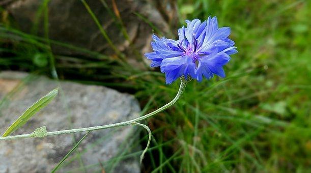 Blossom, Bloom, Cornflower, Flower, Wild Flower, Nature