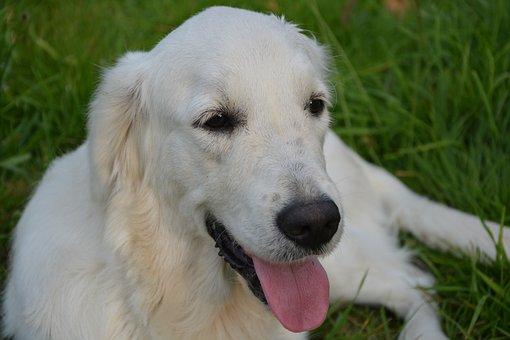 Dog, Golden Retriever, Sunset, Calm, Female Soft