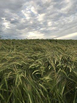 Landscape, Cereals, Nature, Cornfield, Field