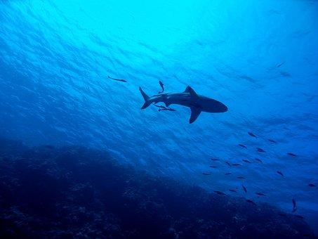 Shark, Great Barrier Reef, Underwater, Reef, Sea, Fish