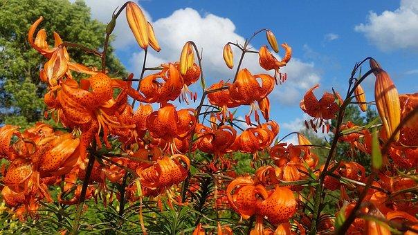 Summer, Flowers, Royal Crown