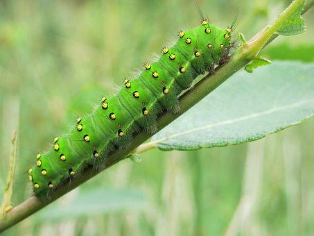 Bristles, Yellow Green, Antennas, Glutton, Caterpillar
