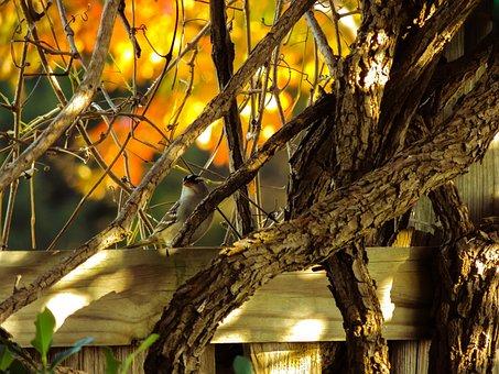 White-crowned Sparrow, Landscape, Nature