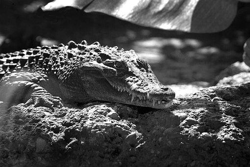 Crocodile, Alligator, Animal, Black And White, Light