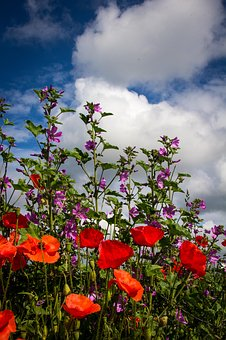 Poppies, Flowers, Wild, Nature, Poppy, Red, Plant