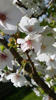 Cherry, Blossom, Flower, Spring, Sunshine, April