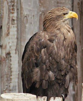 White Tailed Eagle, Adler, Plumage, Bird, Raptor