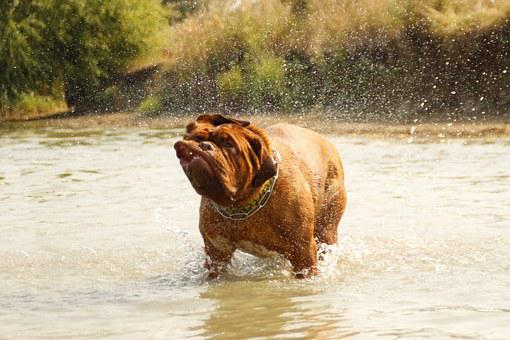 Bordeaux, Dog, De, Dogue, Water, Muddy, Lake, Bathing