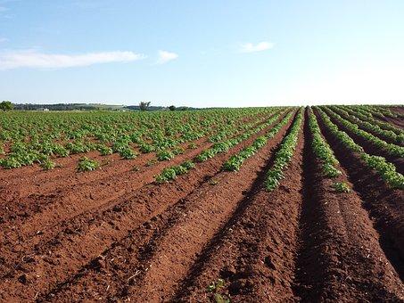 Potato, Field, Crops, Farm, Soil, Summer, Plant, Plow