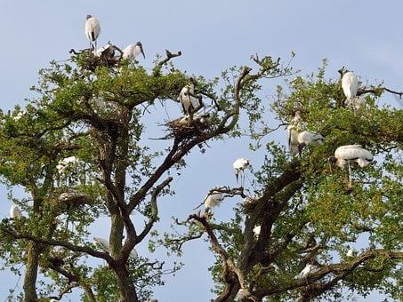 Wood Storks, Wildlife, Nesting, Nature, Bird, Florida