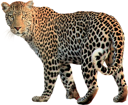Isolated, Animal, Leopard, Cat, Wild, Background
