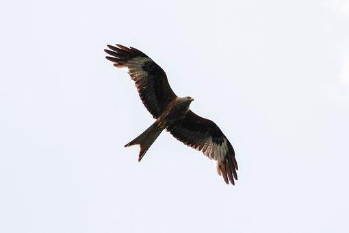 White Tailed Eagle, Müritz, Mecklenburgische Seenplatte