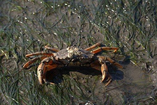 Crab, Short Tail Cancer, Zehnfußkrebs, Watts, North Sea