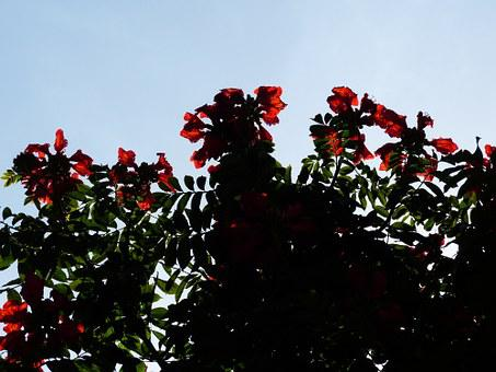 Flowers, Red, Tulip Tree, Bright, African Tulpenbaum