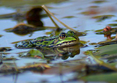 Frog, Pond, Animal, Green, Garden Pond, Green Frog