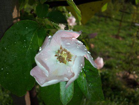 Quince, Flower, Tree, Blossom, Raindrop, Macro