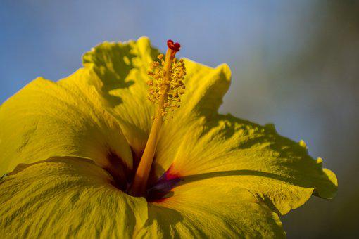 Yellow, Hibiscus, Depth Of Field, Flower, Floral