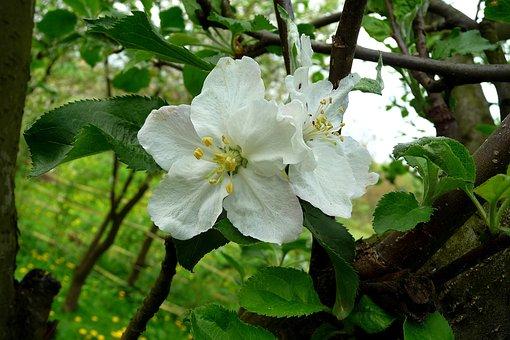 Flower, Apple, Apple Flower, Flowering Tree, Spring