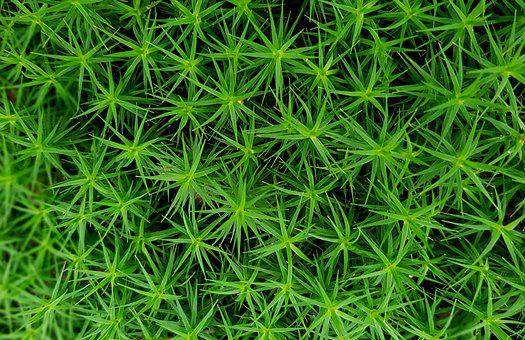 Moss, Star Moss, Forest Plant, Forest Floor