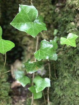 Nature, Ivy, Climber, Plant, Leaves, Green