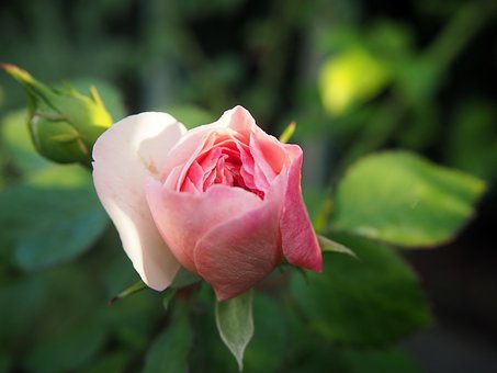 Rose, Garden, Pink, Blossom, Bloom, Flower, Nature