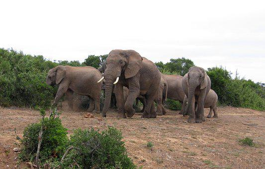 Elephants, South-africa, Park, Africa, Nature, Wild