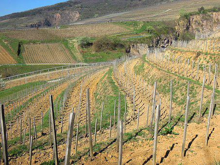 Vineyard, Grape, Plantation, Terrace