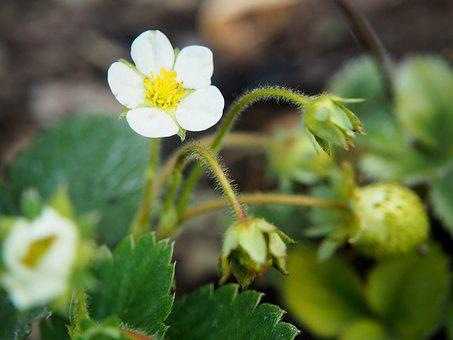 Strawberry Flower, Blossom, Bloom, Garden, Strawberries