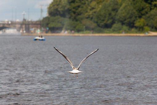 Seagull, Water, River, Bird, Sea, Animal, Wind