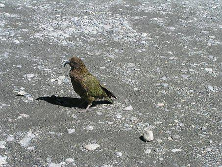 New Zealand, New, Zealand, Kea, Bird