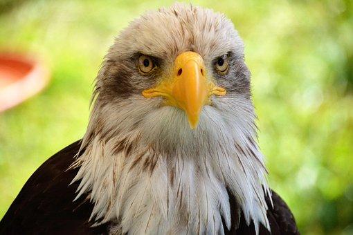 Bald Eagles, Adler, Portrait, Coat Of Arms Of Bird
