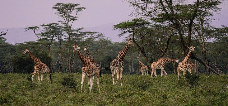 Giraffes, Flock, Savannah, Together, Eat, Friends