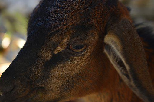 Goat, Eye, Animal, Farm, Mammal, Agriculture, Fauna