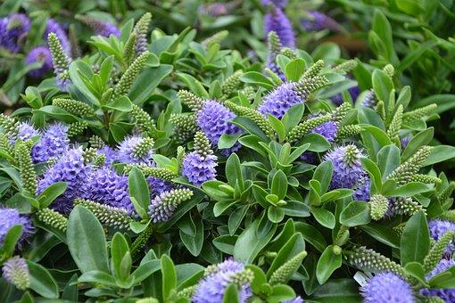 Flowers, Plants, Foliage Green, Purple Flowers, Pretty