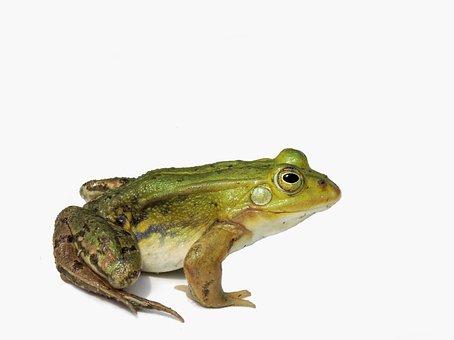 Frog, Frog Pond, Water Frog, Amphibian