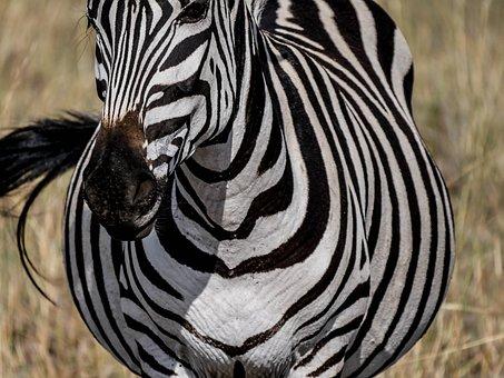 Zebra, Frontal, Striped, Freedom, Savannah, Eat, Graze