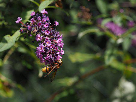 Lilac, Purple, Garden, Wasps Fly, Compound, Nature