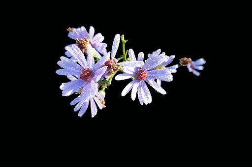 Symphyotrichum Laeve, Smooth Aster, Isolated, Fall