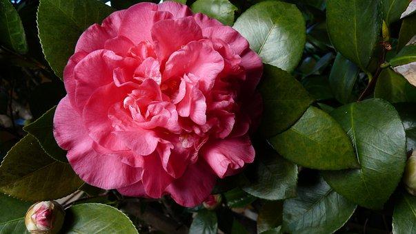 Camellia, Shrub, Blossom