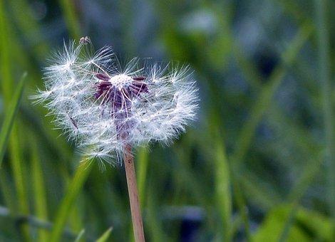 Dandelion, Wild Flower, Macro, Flower, Plant, Nature