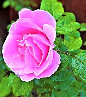 Rose, Shrub Rose, Single Bloom, Light Pink, Pink